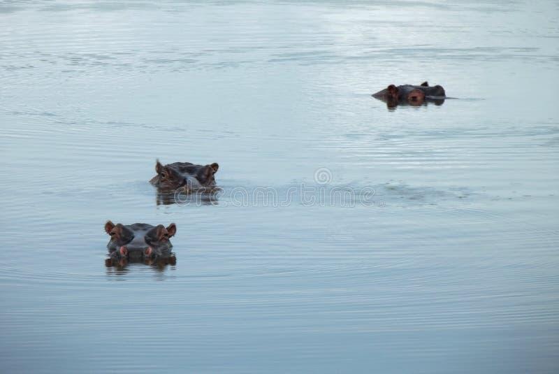 在克留格尔国家公园的河马 图库摄影
