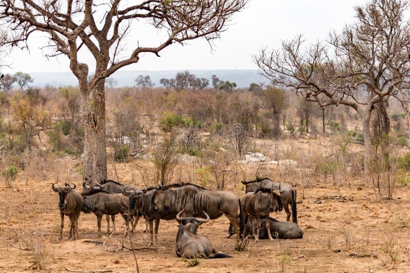 在克留格尔国家公园,南非的Wilderbeests 免版税库存图片