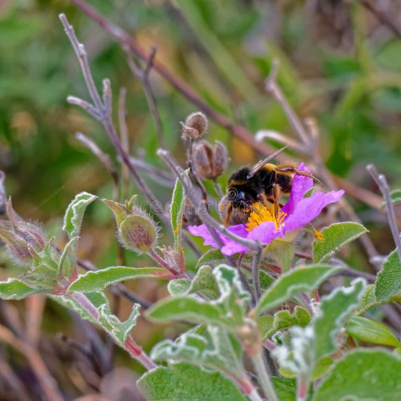 在克里特岛人沙漠座莲(水犀科creticus L的蜂 ) 免版税库存图片