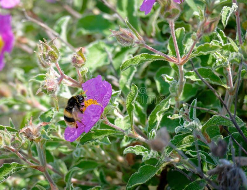 在克里特岛人沙漠座莲(水犀科creticus L的蜂 ) 库存照片