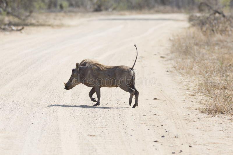在克鲁格公园南非的Warthog 免版税库存图片