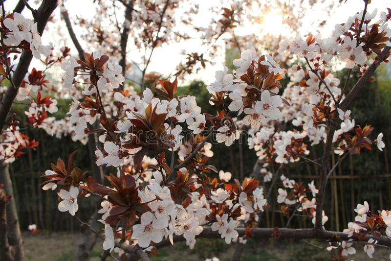 在兖州日落的春天 库存图片