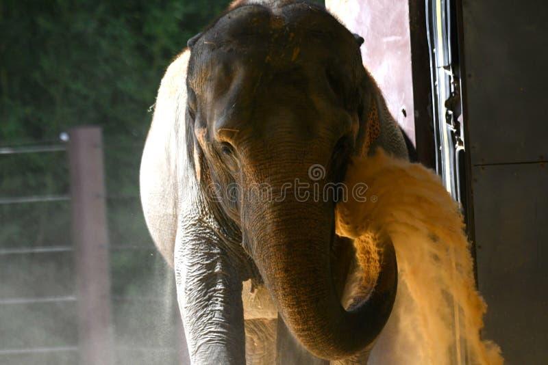 在全国动物园投掷的沙子的大象 库存图片