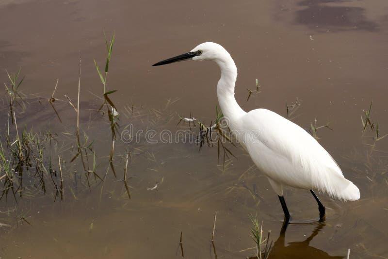 在全国Parc Albufera,马略卡的鸟 免版税图库摄影