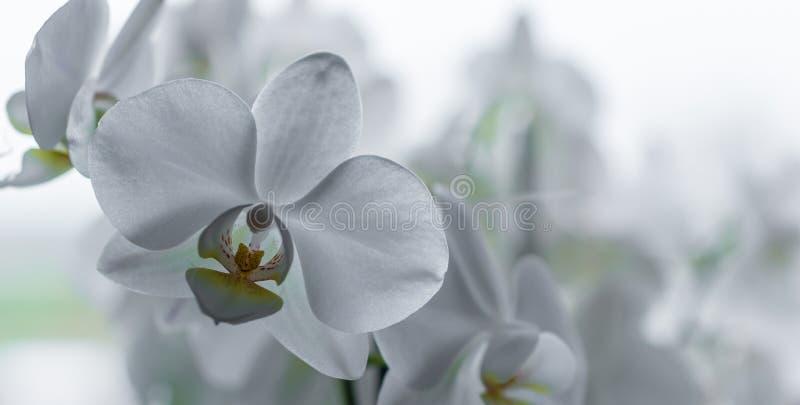 在全景射击的美丽的白色兰花 库存照片