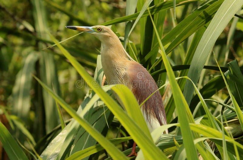 在全身羽毛,Ardeola grayii,Ranganathittu鸟类保护区,卡纳塔克邦,印度的池塘苍鹭 免版税图库摄影