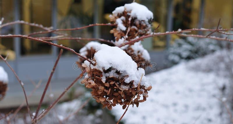 在八仙花属的枯萎的头状花序的雪 库存照片