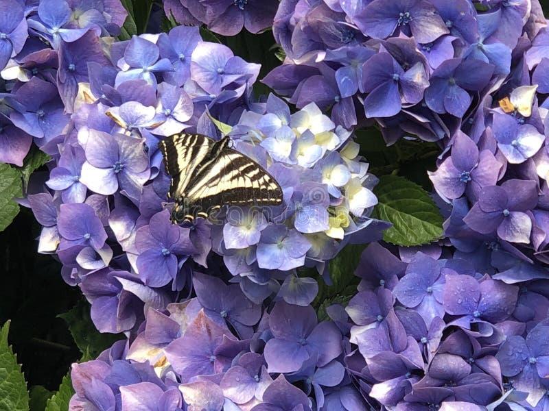 在八仙花属花的Swallowtail蝴蝶 免版税库存照片