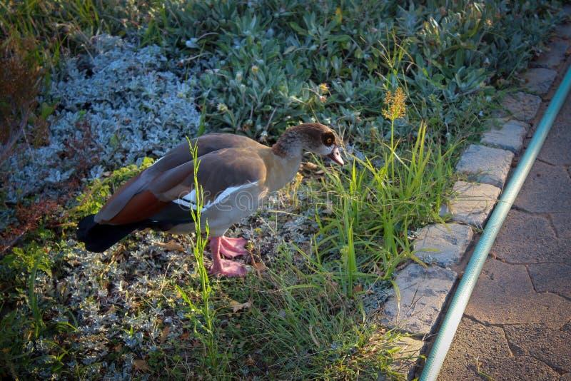 在公司` s庭院的逗人喜爱的鹅在开普敦 库存图片