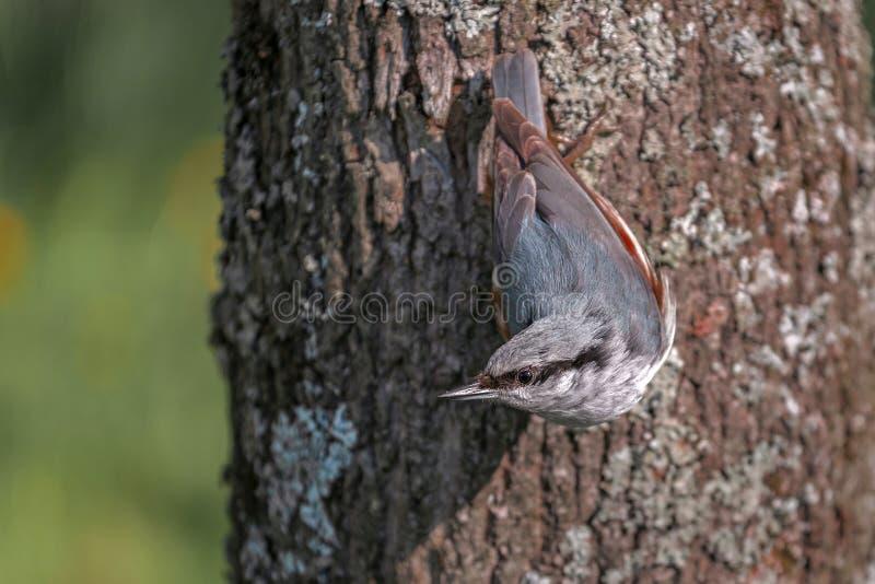 在公园五子雀的鸟在树干 免版税库存照片