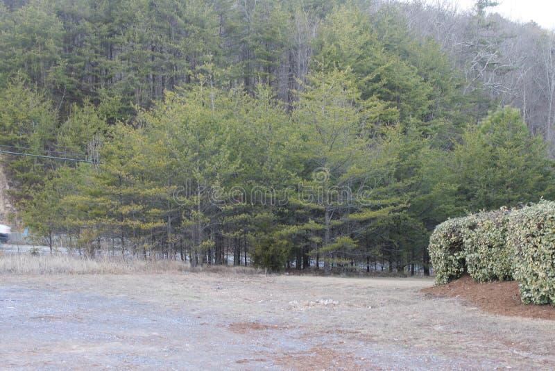 在公园和森林的美丽的杉木 免版税库存照片