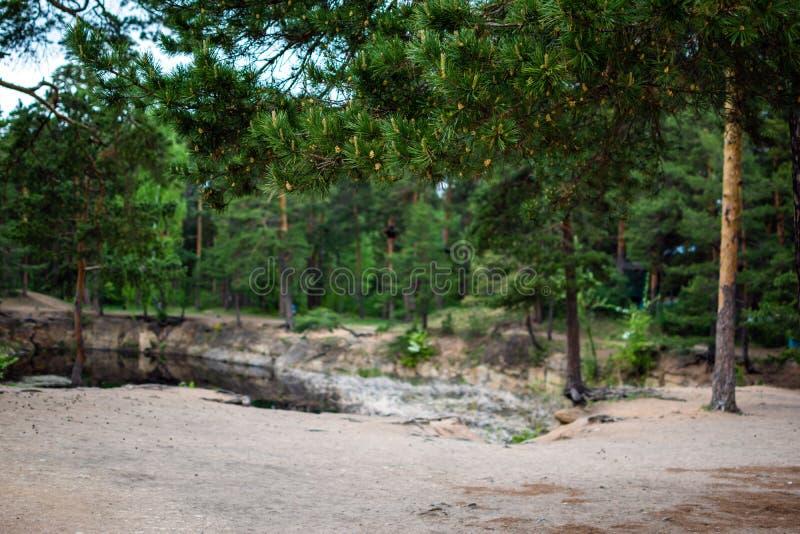在公园小的爆沸的松树 免版税图库摄影