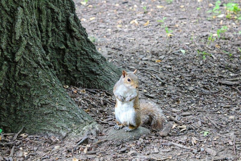 在公园搜寻为食物的灰鼠 库存图片