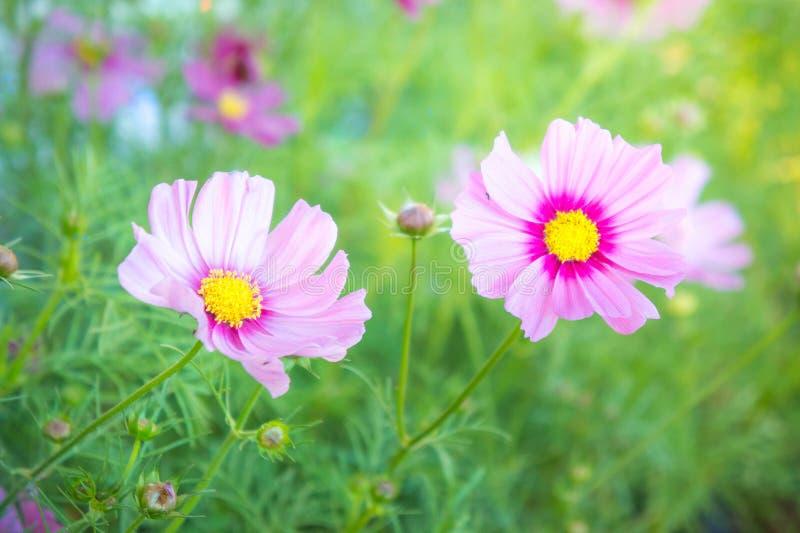 在公园波斯菊的桃红色花在有阳光淡色葡萄酒样式的庭院里开花 免版税图库摄影