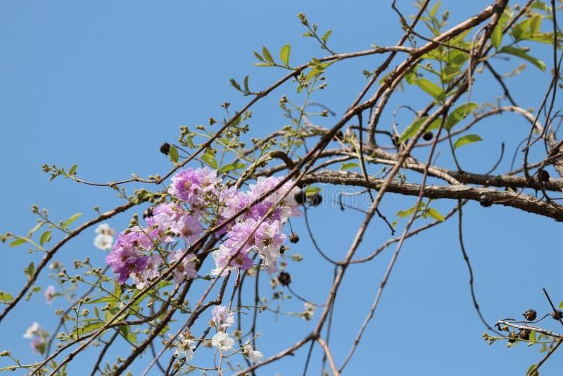 在公园的女王/王后` s花美丽的瓣本质上与bl的 免版税库存照片