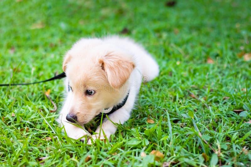 在公园的小狗金毛猎犬,在自然背景,金毛猎犬小狗看的可爱的金毛猎犬 库存图片