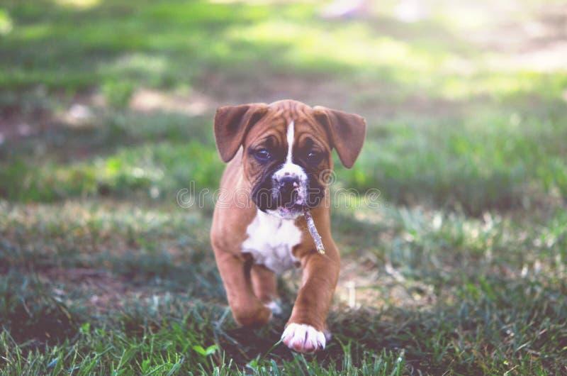 在公园的拳击手小狗 免版税库存图片