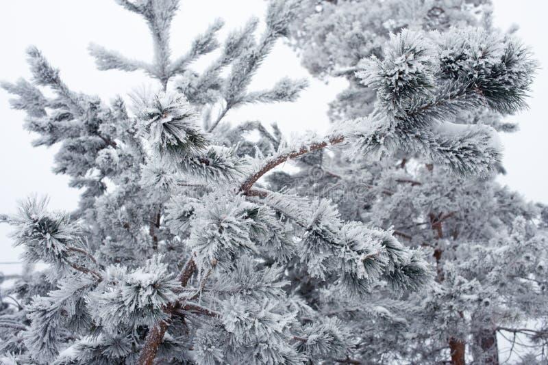 在公园的积雪的树枝,tonned的寒冷 冬天conceprt 免版税库存照片