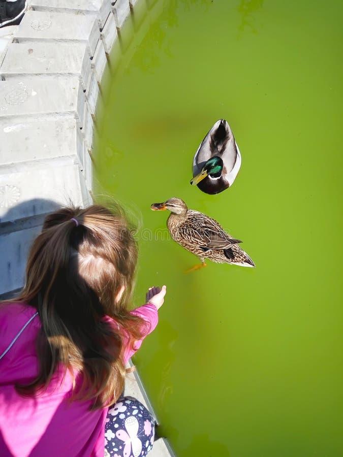 在公园的逗人喜爱的小女孩哺养的鸭子 免版税库存图片