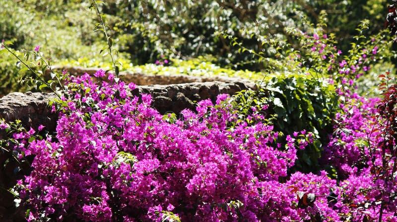 在公园的Bouganvillea灌木 库存图片