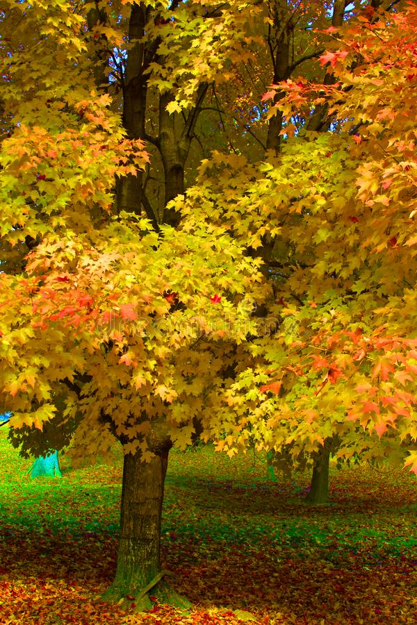 在公园站立槭树 库存图片