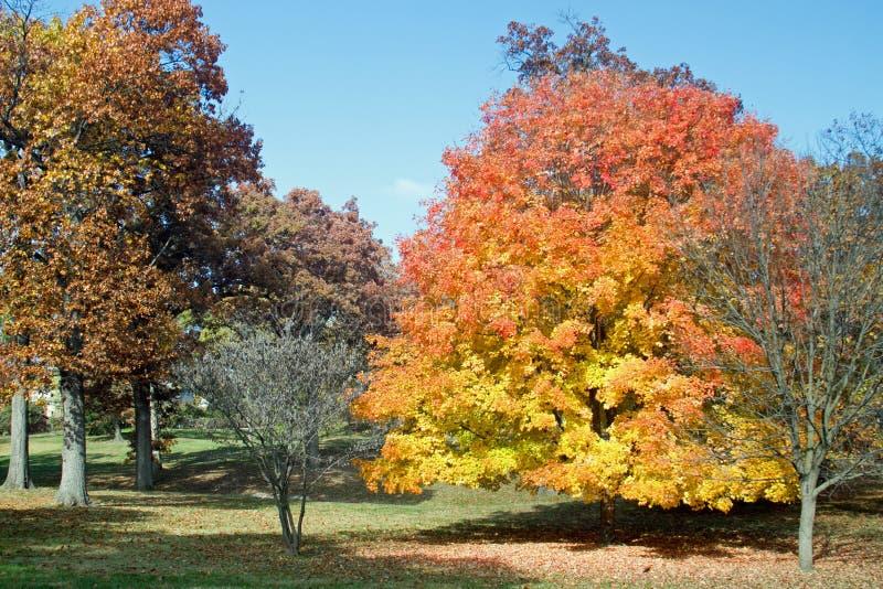 在公园站立槭树 免版税库存照片