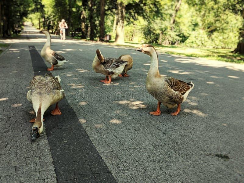 在公园胡同的野生鹅 免版税库存照片