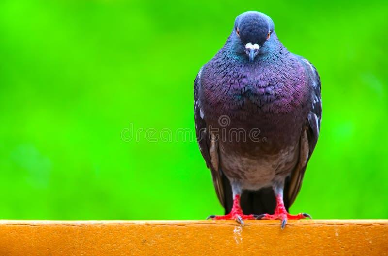 在公园长椅的五颜六色的东方鸽子 免版税库存照片