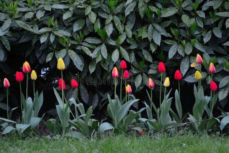 在公园黑暗的对比的郁金香 图库摄影