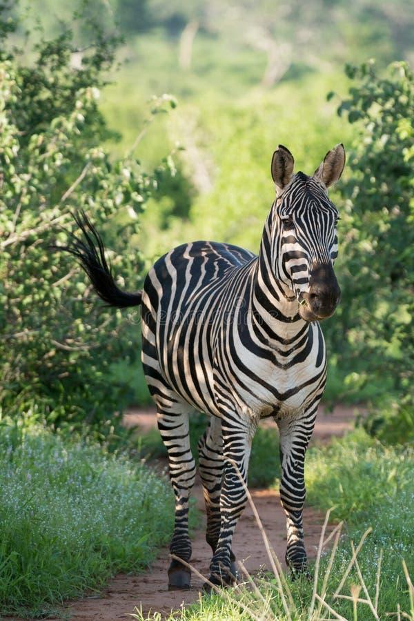 在公园,肯尼亚的一匹斑马 免版税库存照片