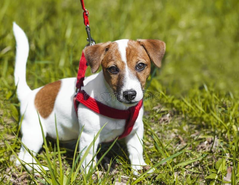 在公园滑稽的逗人喜爱的小犬座皮带-鞔具的步行 库存图片