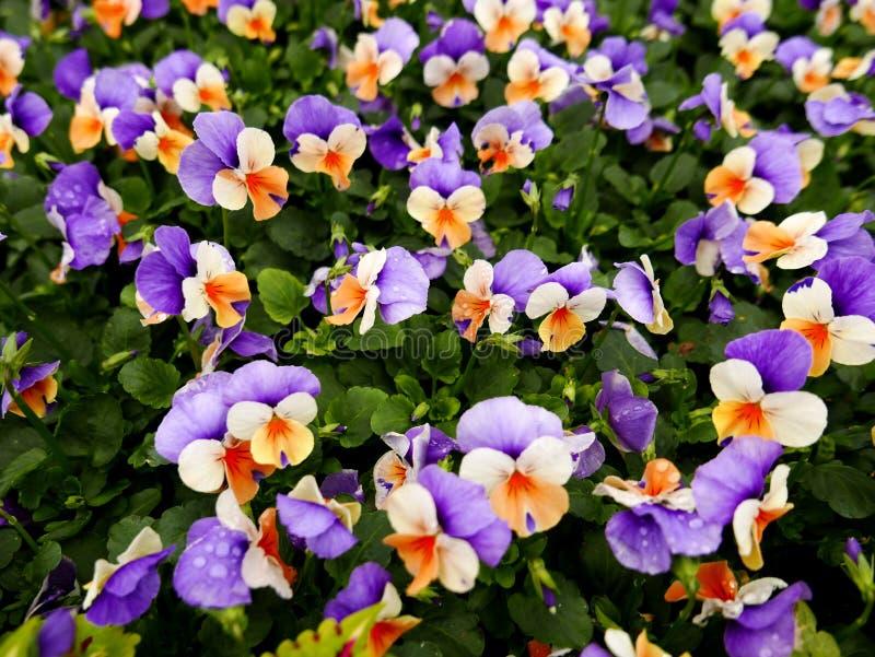 三色花_在公平的花的三色花.