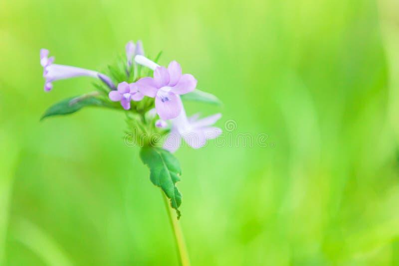 在兰花颜色花的软的焦点在绽放,在被弄脏的绿色背景的开花的野花 库存图片