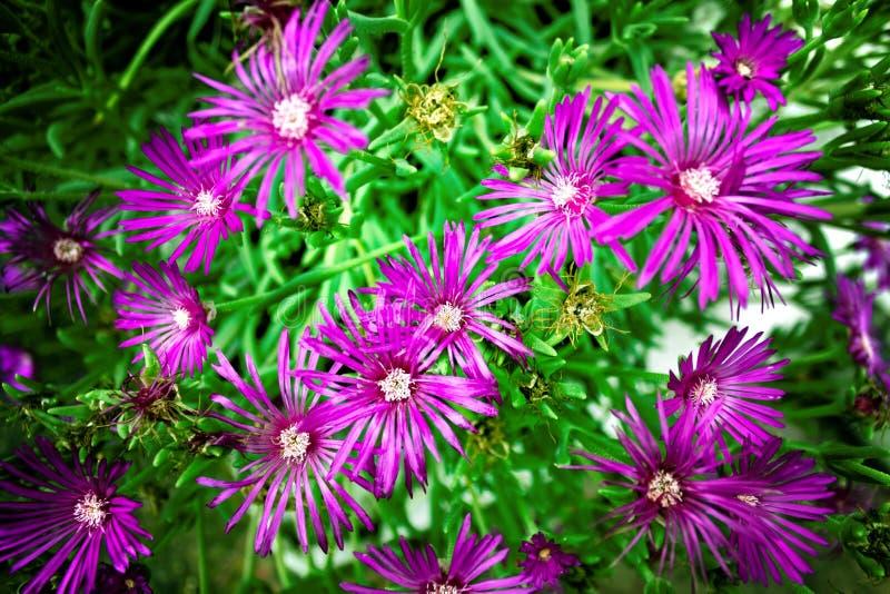 在关闭的紫色花 免版税库存照片