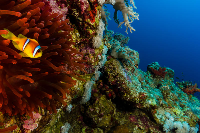 在其红色银莲花属旁边的唯一Clownfish在珊瑚礁墙壁上 免版税库存图片