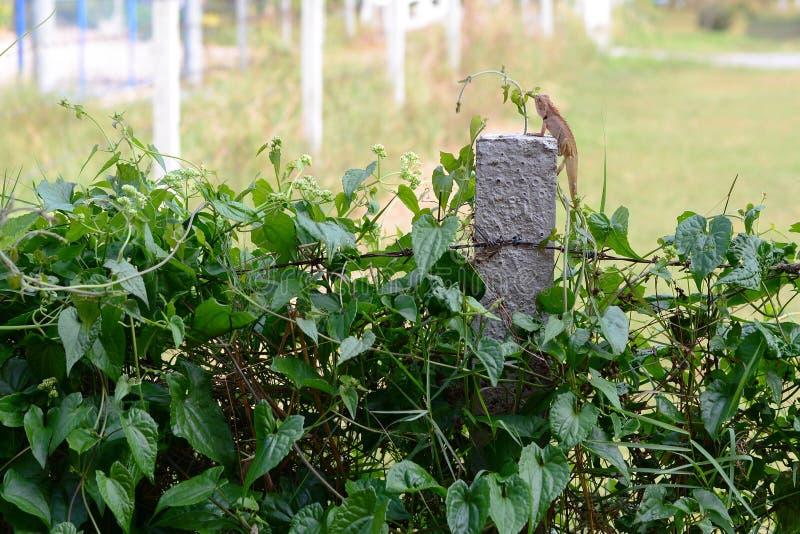 在具体杆和铁丝网篱芭的亚洲chemeleon 免版税库存照片