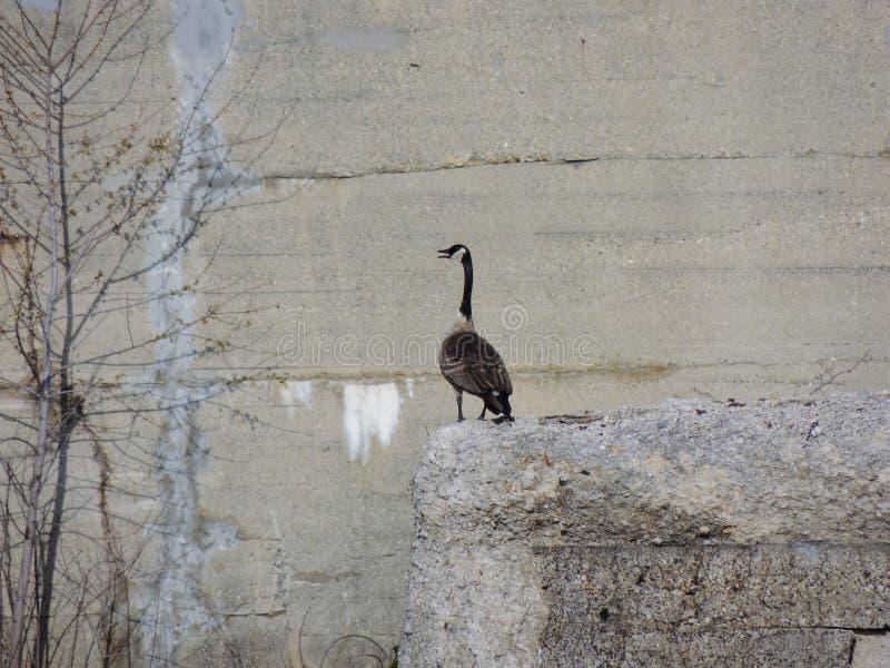 在具体桥梁废墟的加拿大鹅嵌套在怀特河国家公园印第安纳波利斯印第安纳,美国 库存照片