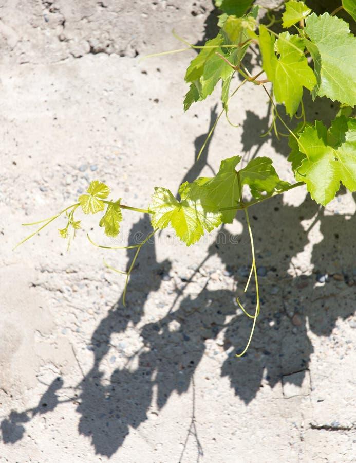 在具体背景的葡萄叶子 免版税库存图片