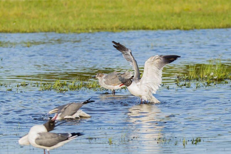 在养殖全身羽毛干燥羽毛的笑的鸥 免版税库存图片