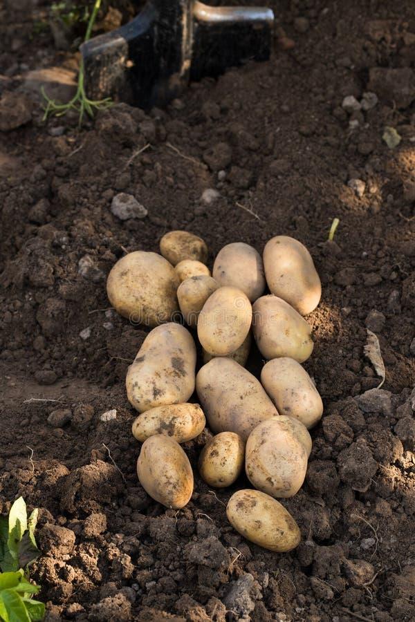 在农业地面的年轻黄色土豆 免版税库存照片