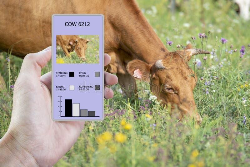 在农业的现代技术帮助下确定多少时刻母牛吃了,放置,走和站立 库存图片