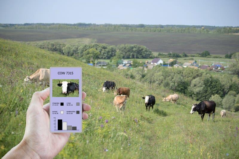 在农业的现代技术帮助下确定多少时刻母牛吃了,放置,走和站立 免版税库存照片