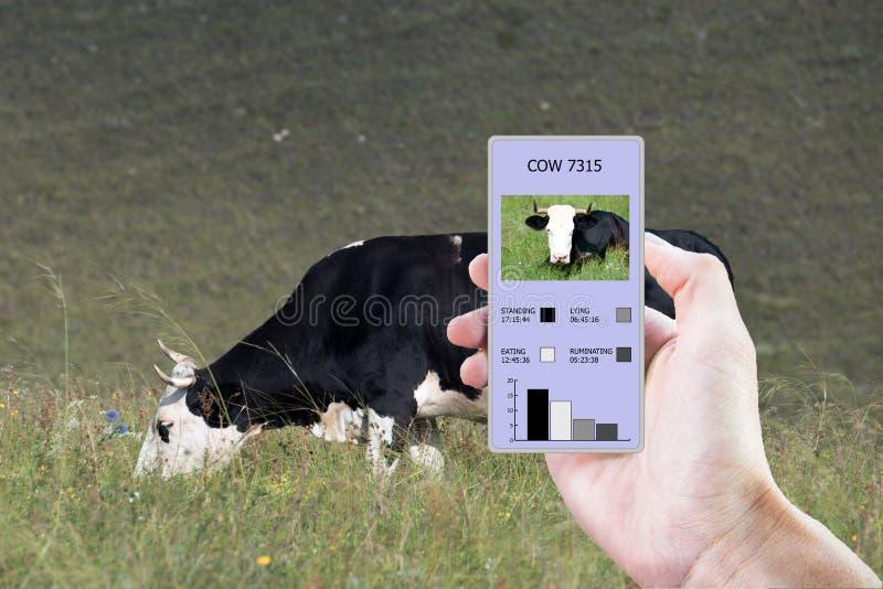 在农业的现代技术帮助下确定多少时刻母牛吃了,放置,走和站立 免版税图库摄影