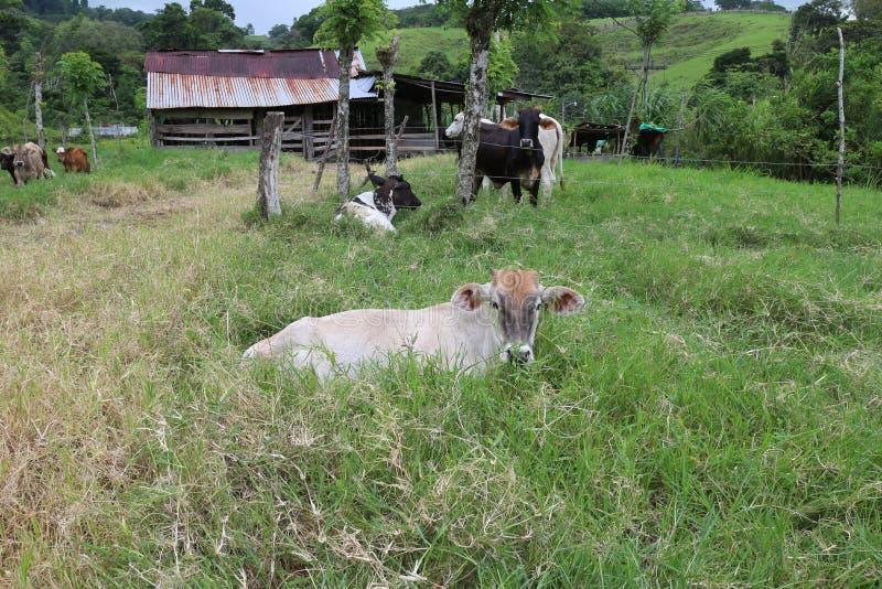 在农厂休息的母牛 免版税图库摄影