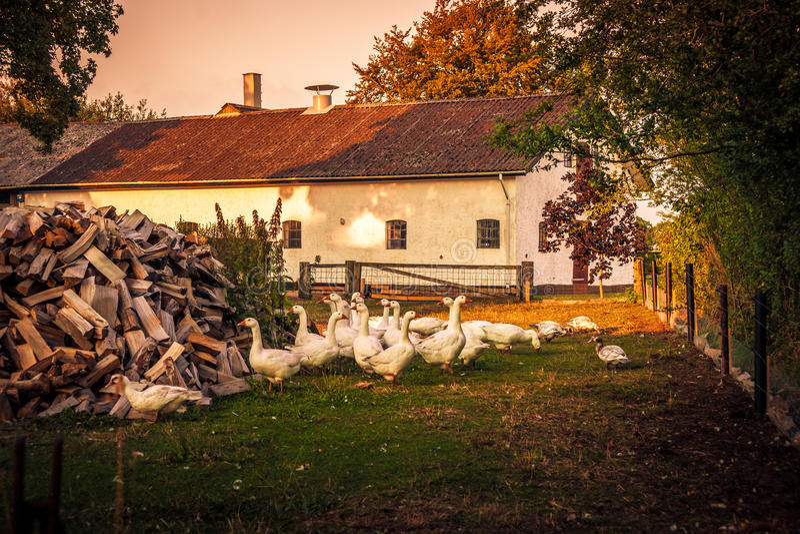 在农厂房子的鹅 免版税库存图片