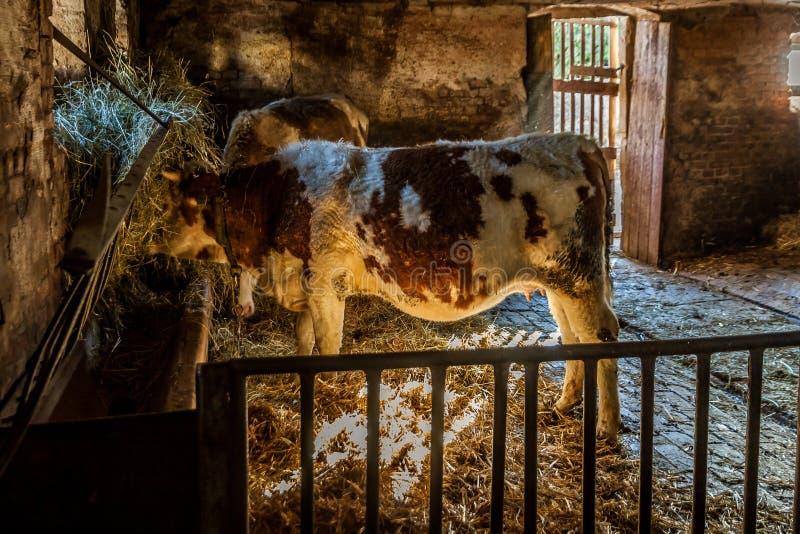 在农厂身分的母牛 库存图片