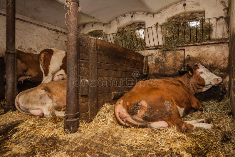在农厂身分的母牛 免版税库存照片