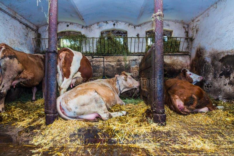 在农厂身分的母牛 免版税库存图片