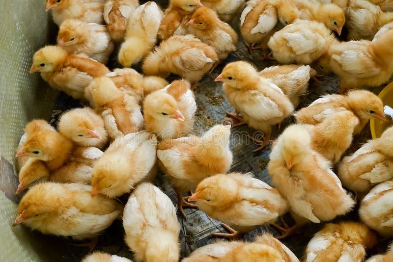 在农场的一只小组小鸡 库存图片