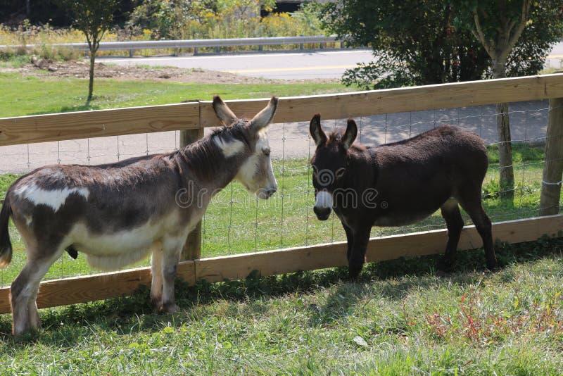 在农场的两头驴 免版税库存照片